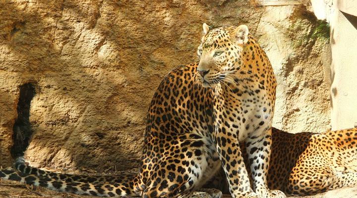 非洲豹改1